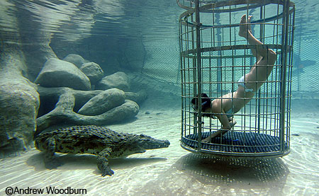 nile crocodile and swimmer going face to face copyright Andrew Woodburn