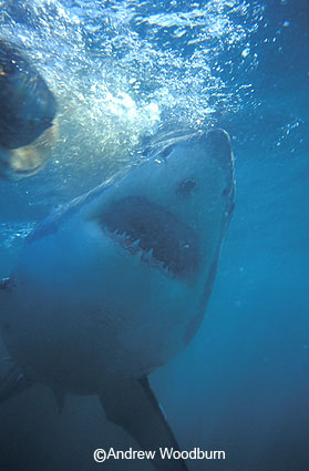 copyright Andrew Woodburn white shark mouth from below seen from inside shark cage during shark dive