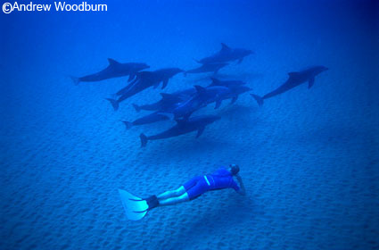 free dive with dolphins copyright a woodburn