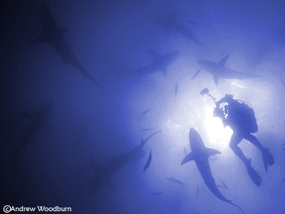 shark dive underwater photographer copyright a woodburn