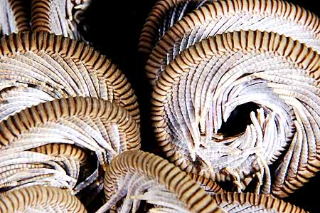 copyright Andrew Woodburn Compressed Chaos, crinoid with curled arms underwater