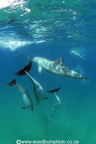 dolphin diving copyright Andrew Woodburn www.woodburnphoto.co.za