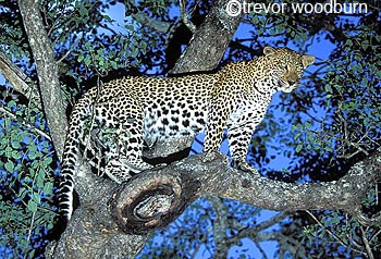 copyright Trevor Woodburn www.woodburnphoto.co.za leopard up a tree after hunt in Sabi Sand reserves adjoining the Kruger Park South Africa