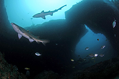 raggie sharks underwater in cathedral aliwal shoal copyright a woodburn
