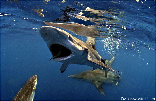 sharks underwater photo copyright A woodburn