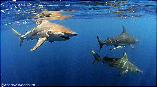 underwater photo of sharks at ocean surface south africa copyright a woodburn