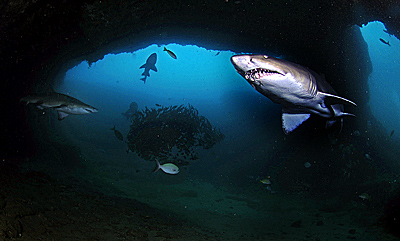 shark diving underwater photography in cathedral aliwal shoal copyright A woodburn