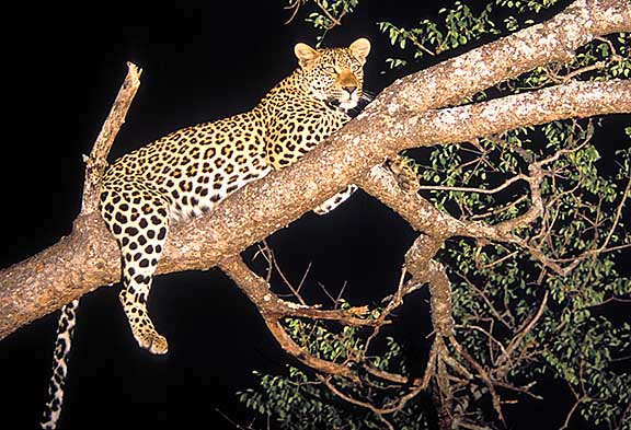 copyright Trevor Woodburn, Leopard in tree at night, wildlife photography