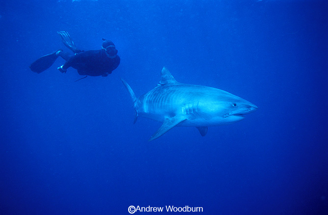 Tiger shark and free diver with no shark cage copyright Andrew Woodburn