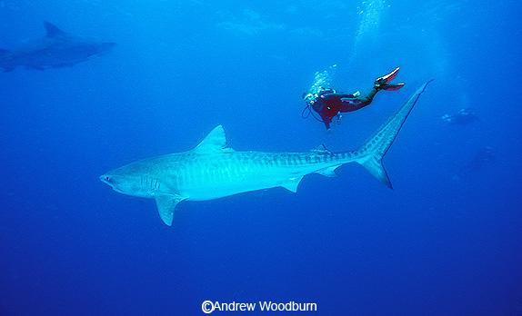 Tiger White Shark White Shark or Tiger Shark