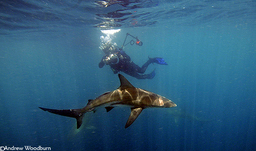 blacktip shark and underwater photo diver copyright a woodburn