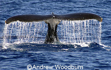 copyright andrew woodburn www.woodburnphoto.co.za humpback whale tail dissapearing as the whale dives deep