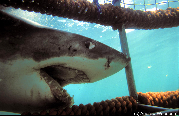 copyright Andrew Woodburn, www.woodburnphoto.co.za , pushing the white Shark out of the cage by hand, souh africa